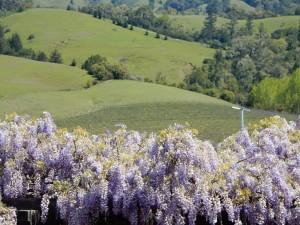 wistoria